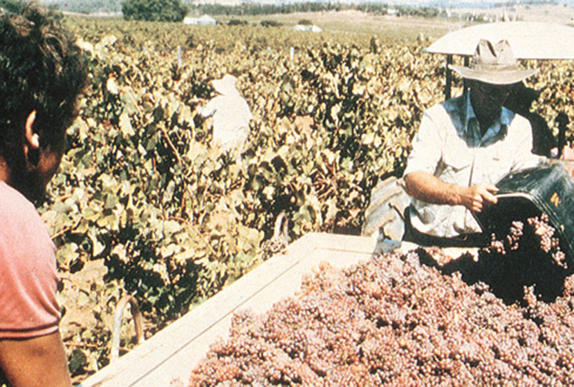 1980. Harvesting Shiraz grapes at the Montrose Estate.